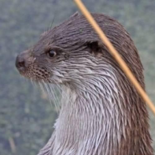 De otter in de Nieuwkoopse Plassen